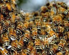 Un-timisorean-a-reclamat-un-roi-de-albine-la-112