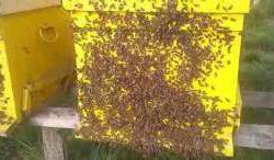 148206005_1_261x203_vand-50-familii-de-albine-stupi-iasi